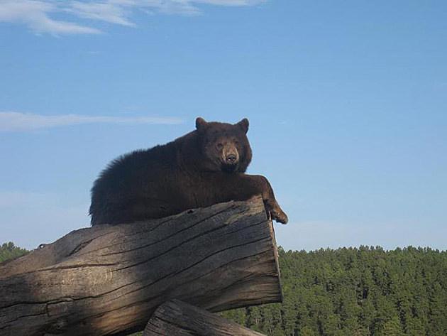 Bear at Bear Country, Rapid City, South Dakota