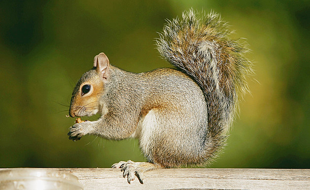 A squirrel eats a nut