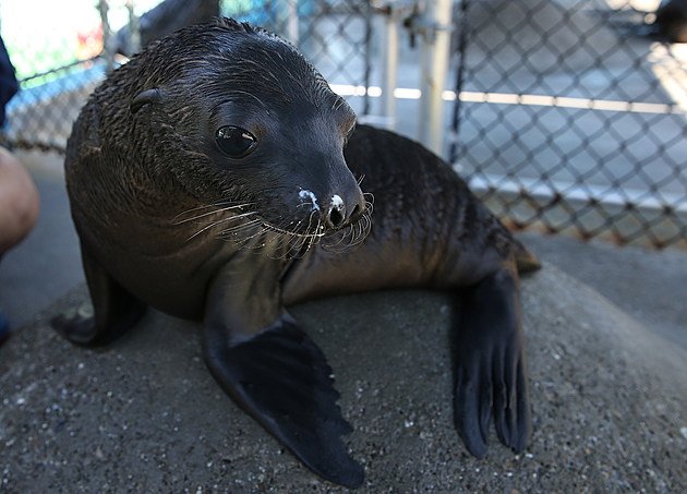 Rescued Sea Lions Get Rehabilitated At Bay Area Six Flags Discovery Kingdom