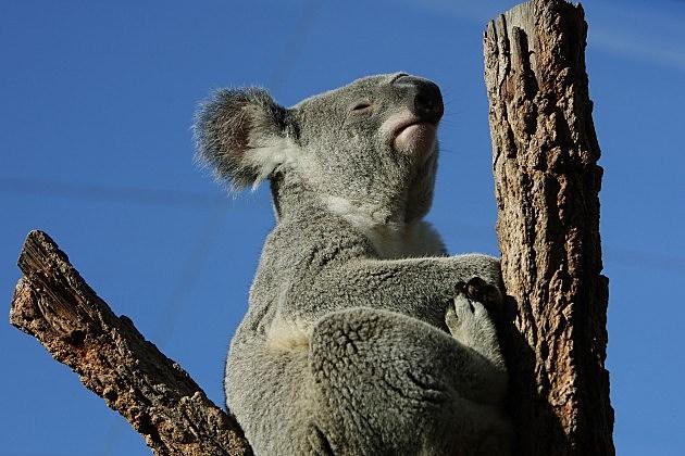 Erin McNaught Cuddles Koalas