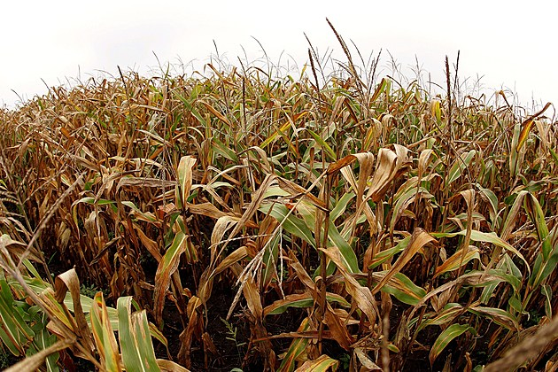 U.S. Corn And Soybean Crop Outlook Improves
